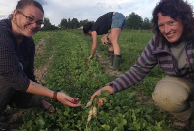 Reddiker snart klare til å høstes.