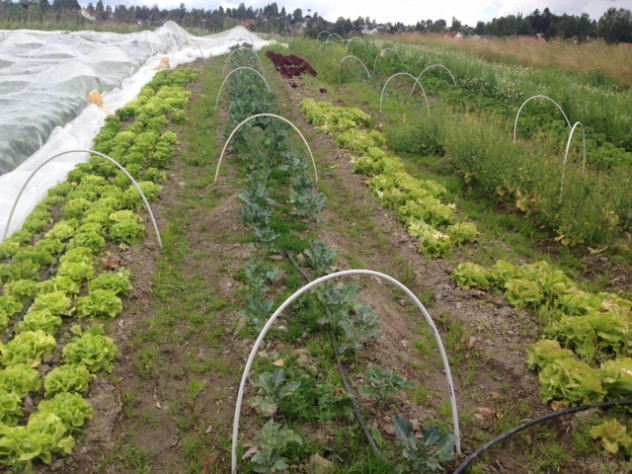 Salatfeltet foran veksttunellen.