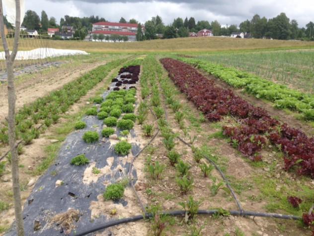 Salatfeltet i bakken. Grønn og rød lollo, rød plukksalat til høyre.